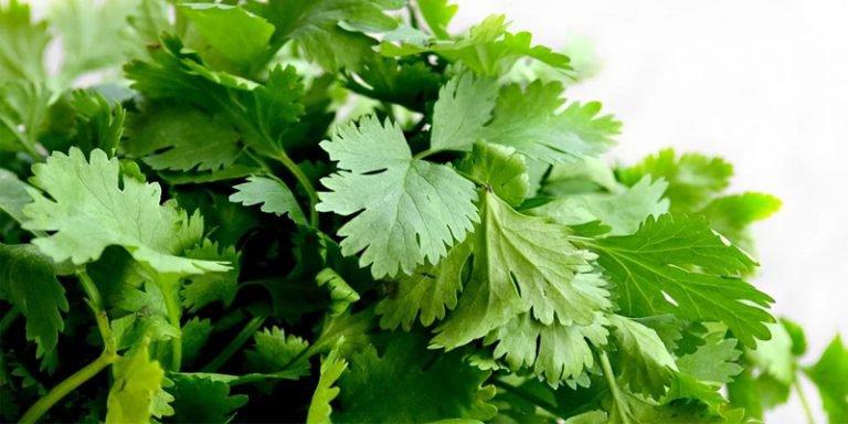 how long does cilantro last