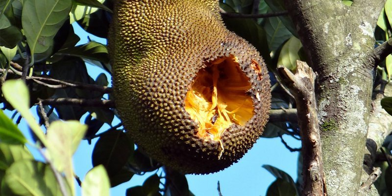 How to tell jackfruit is bad
