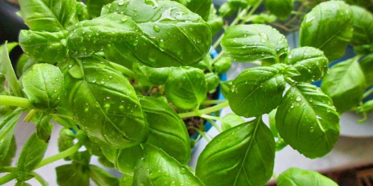 Can You Freeze Basil Leaves