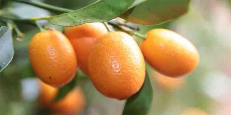 How Long Does Kumquat Last