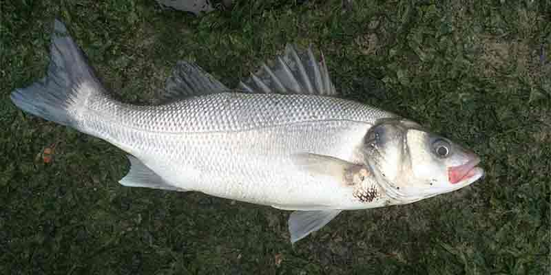 Can You Freeze Sea Bass