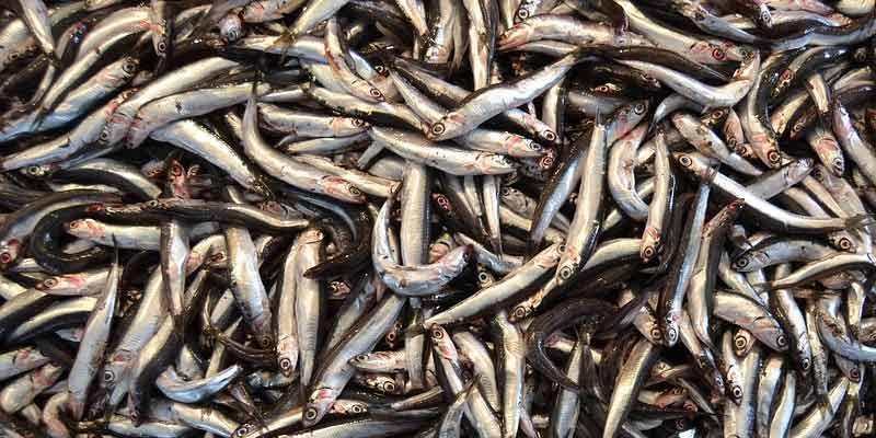 Can You Freeze Anchovies