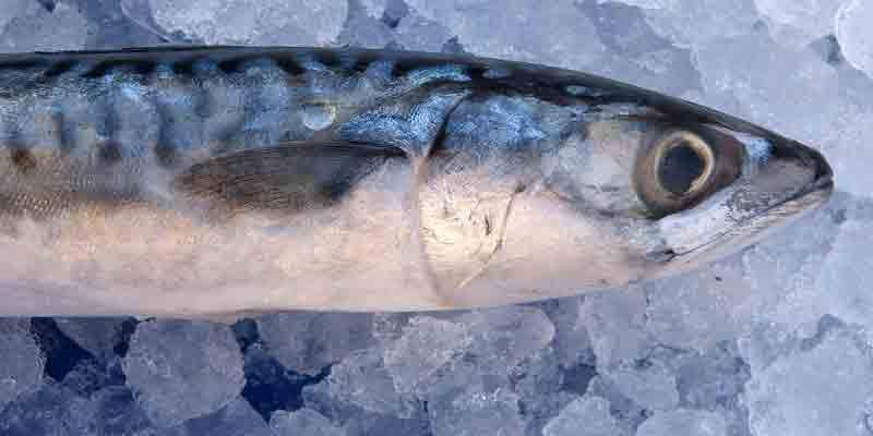 can you freeze mackerel